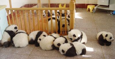 panda cubs4