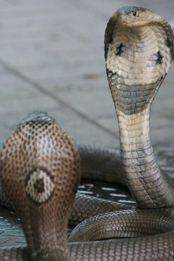 Cobra de Siam
