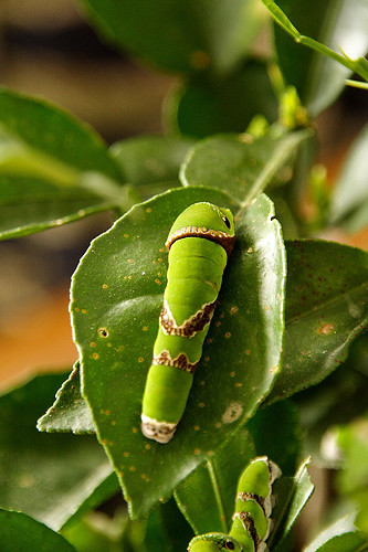 漂浪誌: 與蝴蝶共舞——花蓮棲地保育學會「蝴蝶生命樹」計畫