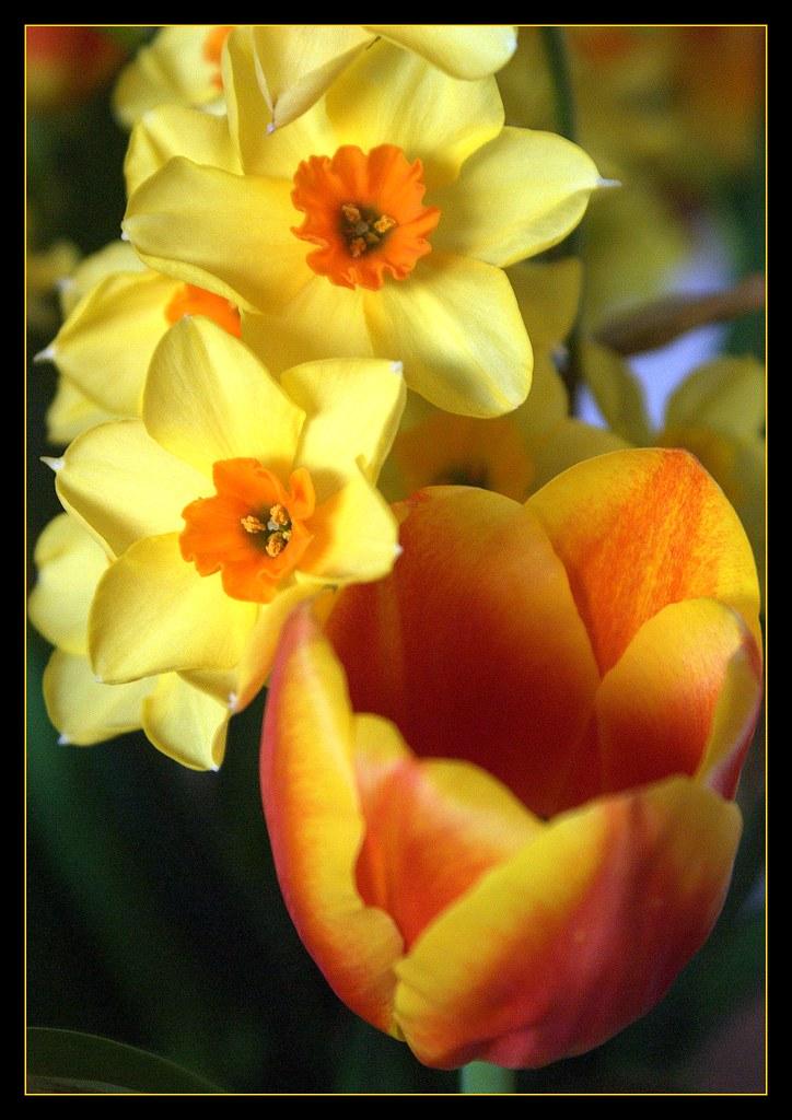 Tulips and Cornish daffodils