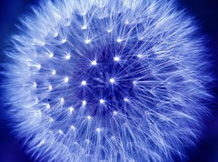 Blue Dandelion by Emily Quinton