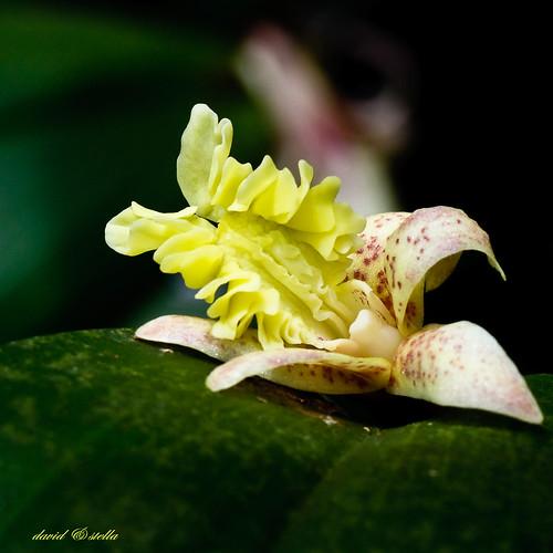 Flickingeria fimbriata
