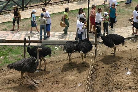 panachi-avestruces