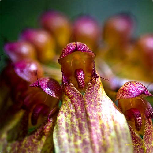Bulbophyllum longiflorum Thouars