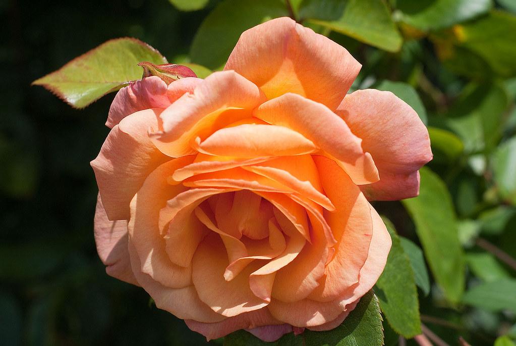 Rosa Della Balfour 'Harblend'