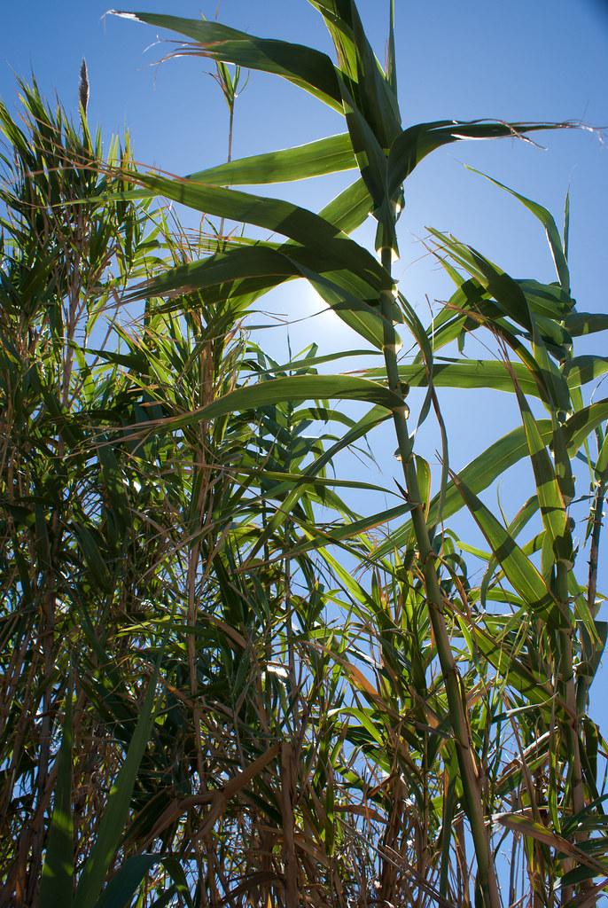 Light reeds