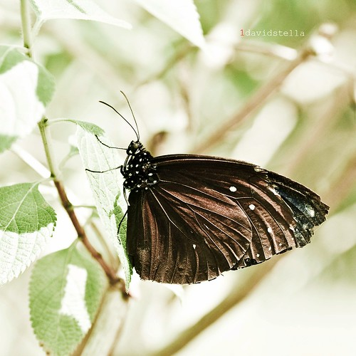 Euploea mulciber {Striped Blue Crow}