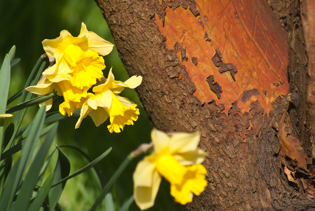 Daffodils and red tree trunk
