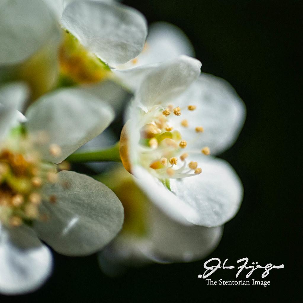 Mayday Blossoms