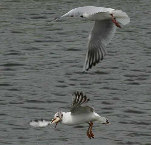 Måger ved Staunings Ø