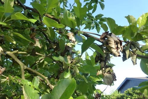 Sygdomsangrebet æbletræ