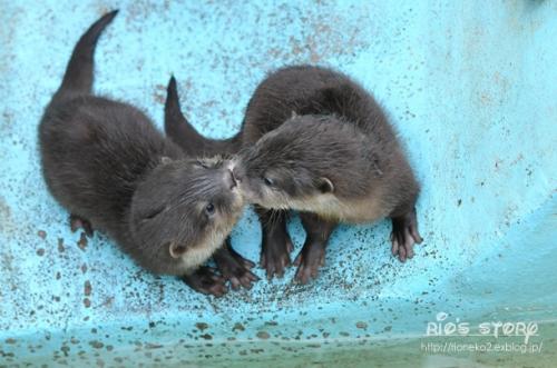 kissingotters