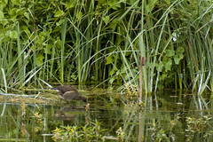 Female Moorhen
