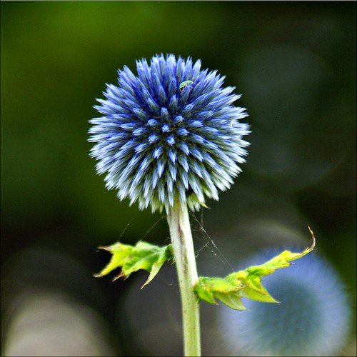Blue singleton