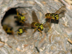 wasps by roger smith
