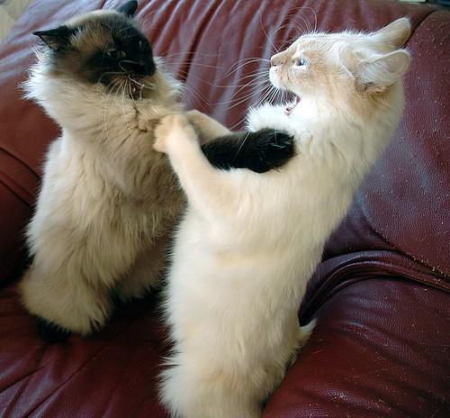 Kitten fight