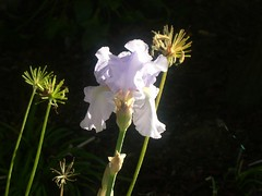 Iris in November
