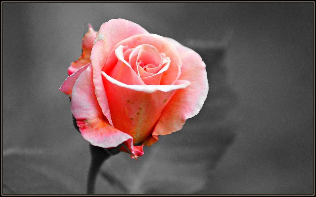 Hidcote rose