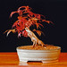 "Acer palmatum ""Deshojo"" Japanese Maple Bonsai Tree"