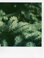 SX 70 - Blue Spruce