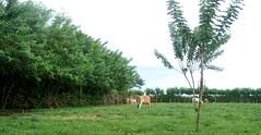 Gamal ditanam sebagai penahan angin, bank protein, pakan ternak dan pagar hidup