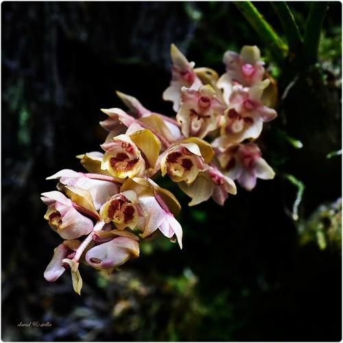 Eria sp {genus eria, species??}