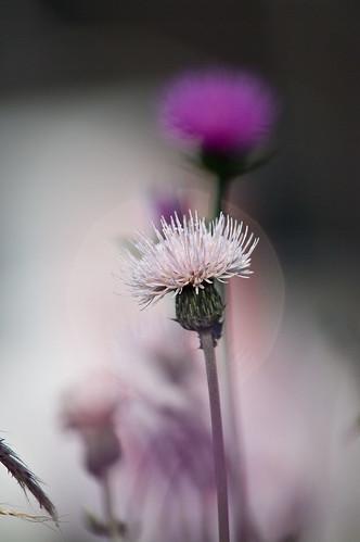 ピンクの薊