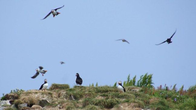 Puffins flying all over the place