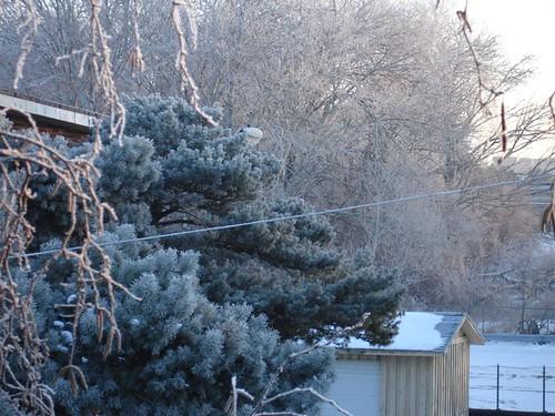 Ice pines.