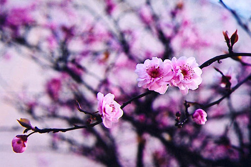 Blossoms 2