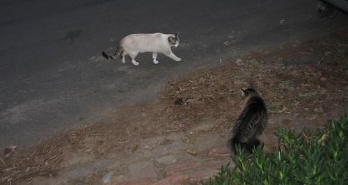 cat-vs-cat