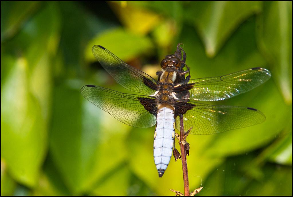 Libellula depressa | Broad-bodied Chaser | Male 4