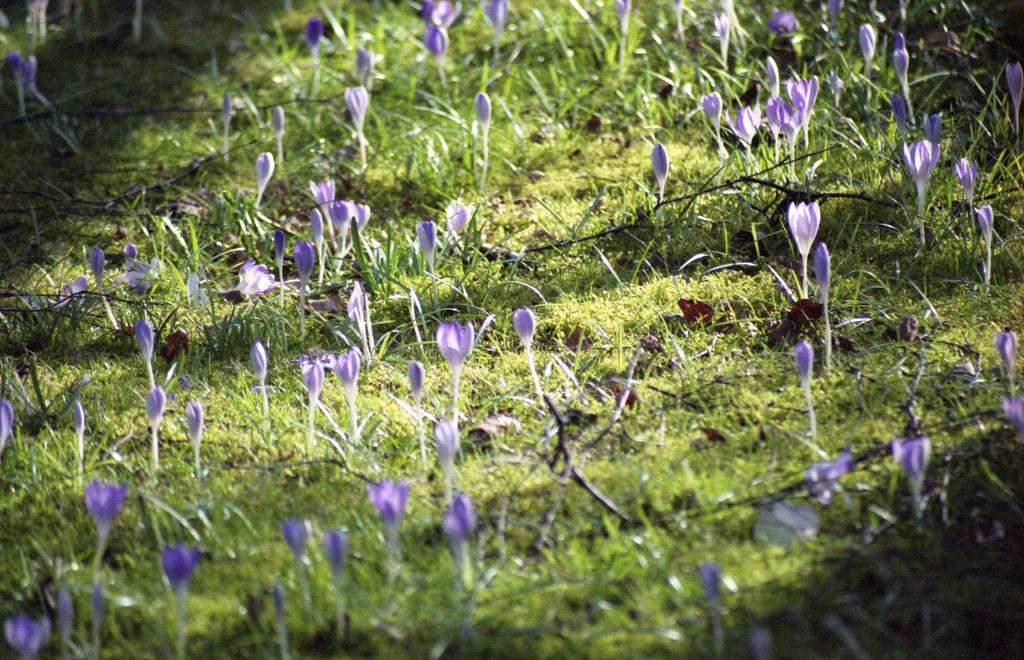Lawn crocuses 1