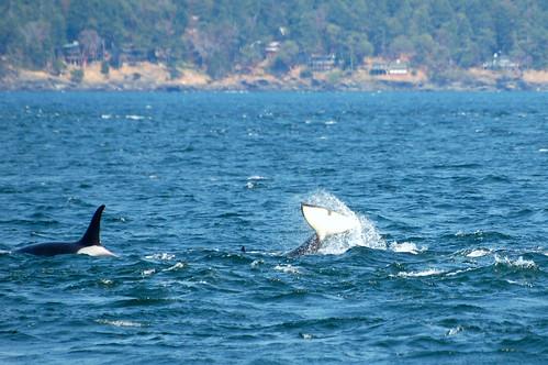 Tail Slap, Orca, Vancouver Island