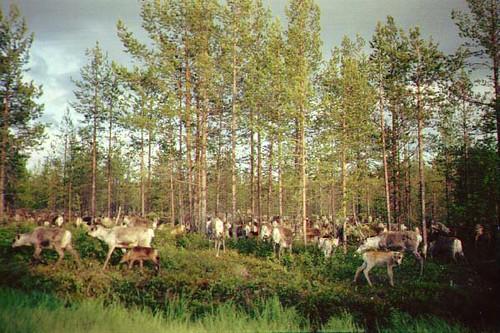 Lotsa reindeer!