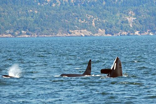 Spyhopping Orca, Vancouver Island