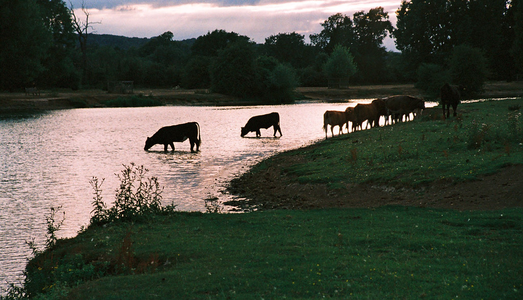 Port meadow cattle 2
