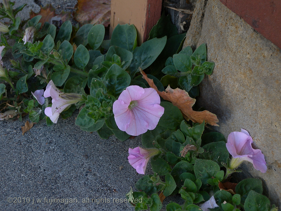 Sidewalk Petunia