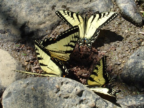 A gaggle of Eastern Swallowtail Butterflies in the Allegheny National Forest, Pennsylvania.