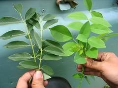 Daun tua (kiri) dan daun muda. Atau spesies yang berbeda ?
