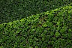 Tea plantation4 by dorankatie
