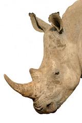 Top 10 Aphrodisiacs (10 - Rhino Horn)