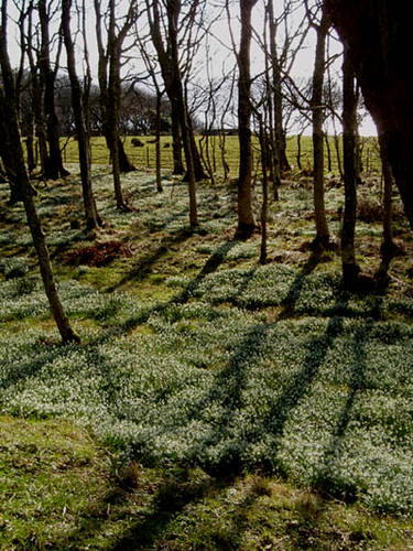 Bluebells and shadows