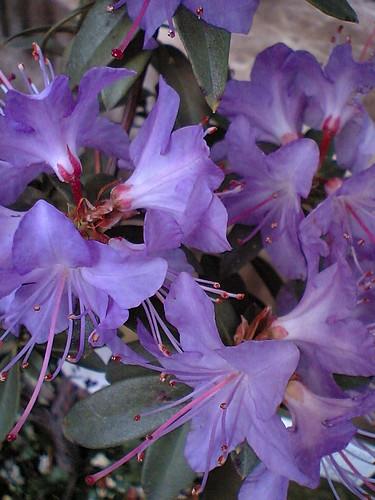 Blue azaleas