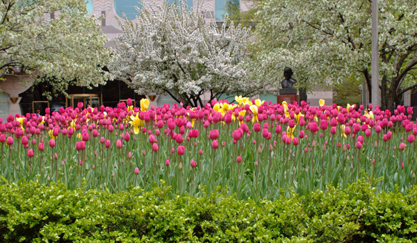 pics of tulips in Boston Public Garden by Arun Shanbhag