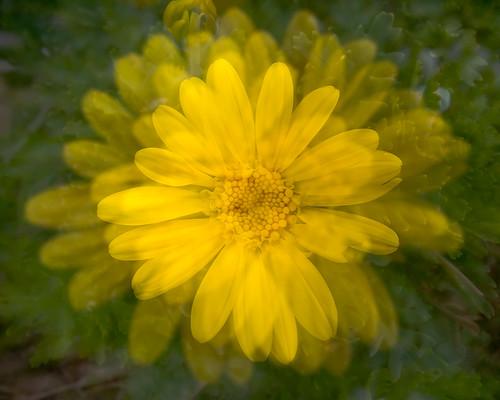Multiple Mellow Yellow