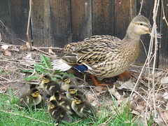 Momma and chicks 1