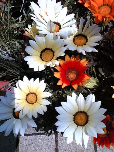 Gazanias in bloom