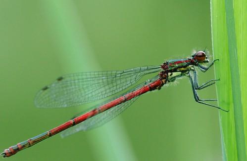 Libellule rouge sur fond vert