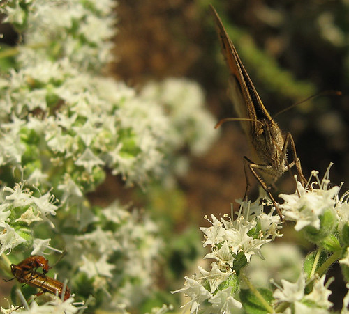 butterfly voyer